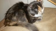 My cat Siberia